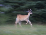 Portrait of a Male White-Tailed Deer, Running Photographic Print by Roy Toft