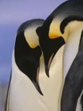 Emperor Penguin (Aptenodytes Forsteri), Atka Bay, Princess Martha Bay, Weddell Sea, Antarctica Photographic Print by Tui De Roy/Minden Pictures