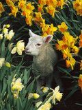 Domestic Sheep (Ovis Aries) Lamb Among Spring Daffodils (Narcissus Sp) Canterbury, New Zealand Photographic Print by Colin Monteath/Minden Pictures