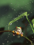 Red-Eyed Tree Frog (Agalychnis Callidryas) in Rain, Native to Central and South America Photographic Print by Michael Durham/Minden Pictures
