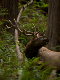 A Roosevelt Elk Bull in an Old Growth Redwood Forest Photographic Print by Michael Nichols