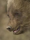 Grizzly Bear Cub (Ursus Arctos), Denali, Alaska Photographic Print by Michael S. Quinton