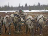 A Nomadic Komi Reindeer Herder Walks His Team Through a Snowstorm Photographic Print by Gordon Wiltsie