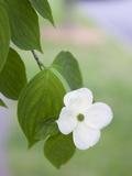 A Single White Dogwood Flower in the Virginia Highlands Neighborhood Photographie par Krista Rossow