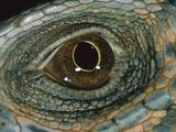 Green Iguana (Iguana Iguana) Detail of Eye, Barro Colorado Island, Panama Photographic Print by Christian Ziegler/Minden Pictures