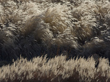 Dried Grass Photographic Print by Michael S. Quinton