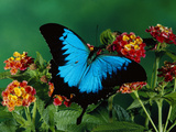 Ulysses Butterfly (Papilio Ulysses) on Flowers, Kuranda State Forest, Queensland, Australia Fotografie-Druck von Michael and Patricia Fogden/Minden Pictures