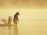 Grizzly Bear (Ursus Arctos Horribilis) on Landspit in Morning Haze, Katmai Nat&#39;l Park, Alaska Photographic Print by Matthias Breiter/Minden Pictures