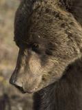 Grizzly Bear Sow (Ursus Arctos), Denali, Alaska Photographic Print by Michael S. Quinton