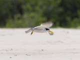 Large-Billed Tern, Phaetusa Simplex, in Flight Photographic Print by Roy Toft