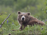 Alaskan Brown Bear, Ursus Arctos, at Rest Photographic Print by Roy Toft