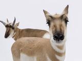 A Pair of Pronghorn Antelopes, Antilocapra Americana Photographic Print by Joel Sartore