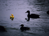 Ducks Approach a Toy Duck Swimming on Lake Banyoles Photographic Print by Tino Soriano