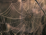 Spider in Web at Day Break, Girona, Spain Photographic Print by Albert Lleal/Minden Pictures