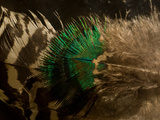 Close Up of Peacock Feathers Photographic Print by Beverly Joubert