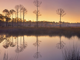Pineland at Piney Point Near Hagen's Cove, Florida Photographic Print by Tim Fitzharris/Minden Pictures