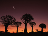 Quiver Tree or Kokerboom (Aloe Dichotoma) at Dusk, Kokerboom Reserve, Keetmanshoop, Namibia Photographic Print by Michael and Patricia Fogden/Minden Pictures