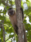 Tufted Capuchin Monkey, Cebus Apella, in a Tree Photographic Print by Roy Toft