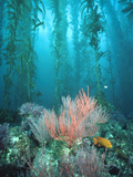 Giant Kelp (Macrocystis Pyrifera) Forest with Garibaldi, Channel Islands National Park, California Fotografisk tryk af Flip Nicklin/Minden Pictures