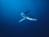 Blue Shark (Prionace Glauca) Underwater Portrait, California Photographic Print by Flip Nicklin/Minden Pictures