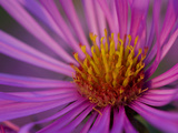Close Up on Aster Flowers, Aster Species Photographic Print by Joe Petersburger
