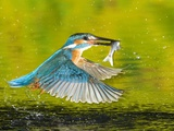 Adult Male Common Kingfisher, Alcedo Atthis, with a Topmouth Gudgeon Papier Photo par Joe Petersburger