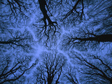 Looking Up into Leafless Canopy Showing Crown Shyness, Blue Hour, Jasmund National Park, Germany Photographic Print by Christian Ziegler/Minden Pictures