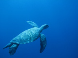 Green Sea Turtle (Chelonia Mydas) Endangered, Swimming Underwater, Cocos Island, Costa Rica Photographic Print by Flip Nicklin/Minden Pictures