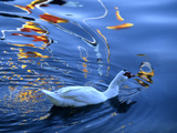 A Duck Swimming in the Rippled Water of Lake Banyoles Photographic Print by Tino Soriano
