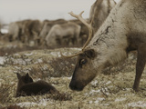 A Reindeer Cow Approaches Her Newborn Calf Lying in the Tundra Photographic Print by Gordon Wiltsie