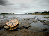A Dead Eastern Longneck Turtle Lying on the Drought Stricken Bank Photographie par Brooke Whatnall
