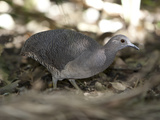 Portrait of a Grey Tinamou, Tinamus Tao, Foraging on the Ground Photographic Print by Roy Toft