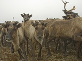 A Herd of Domesticated Reindeer Charges across the Tundra Near Snopa Photographic Print by Gordon Wiltsie