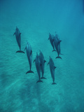Spinner Dolphin (Stenella Longirostris) Group Underwater, Bahamas Photographic Print by Flip Nicklin/Minden Pictures