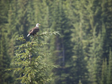 Bald Eagle Perched in the Top of an Evergreen Tree Photographic Print by Roy Toft