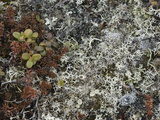 Mosses, Lichens and Tiny Lingonberry Bushes of Russia's Arctic Tundra Photographic Print by Gordon Wiltsie
