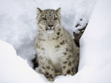 Snow Leopard (Uncia Uncia) Adult Portrait in Snow, Endangered, Native to Asia Photographic Print by Tim Fitzharris/Minden Pictures