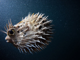 A Puffer Fish Inflates Itself to Protect Itself from Danger Photographic Print by Ben Horton