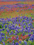 Hill Country Wildflowers, Sand Bluebonnets (LupinusSubcarnosus), Paintbrush (Castilleja Sp.), Texas Photographic Print by Tim Fitzharris/Minden Pictures