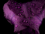 Water Drops on a Purple Flower in a Redwood Forest Habitat Photographic Print by Michael Nichols