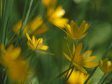 Yellow Spring Flowers, Jasmund National Park, Ruegen, Germany Photographic Print by Christian Ziegler/Minden Pictures