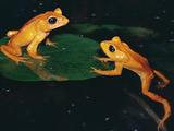 Monteverde or Golden Toad (Bufo Periglenes), Extinct, Monteverde Cloud Forest Reserve, Costa Rica Fotografie-Druck von Michael and Patricia Fogden/Minden Pictures