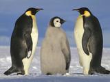 Emperor Penguin (Aptenodytes Forsteri), Near Ekstrom Ice Shelf, Weddell Sea, Antarctica Photographic Print by Tui De Roy/Minden Pictures