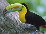 Keel-Billed Toucan (Ramphastos Sulfuratus) with Captured Insect Prey, Barro Colorado Island, Panama Photographic Print by Christian Ziegler/Minden Pictures