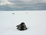 Weddell Seals Resting in a Snowy Landscape Photographic Print by Steve And Donna O'Meara