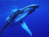 Humpback Whale (Megaptera Novaeangliae) Swimming, Underwater, Tonga Photographic Print by Mike Parry/Minden Pictures