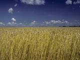 A Wheat Filed Ripens in the Summer Sun Photographic Print by Kenneth Ginn