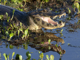 Close-Up of a Yacare Caiman, Caiman Yacar, Resting in a Marsh Photographic Print by Roy Toft