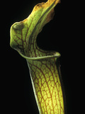 Sweet Pitcher Plant (Sarracenia Rubra) Trap, Native to the Southeastern United States Fotografiskt tryck av Albert Lleal/Minden Pictures