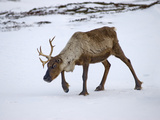 A Domesticated Reindeer with One Antler Walks on the Snowy Tundra Photographic Print by Gordon Wiltsie